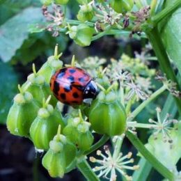 Harlequin ladybird on Alexanders